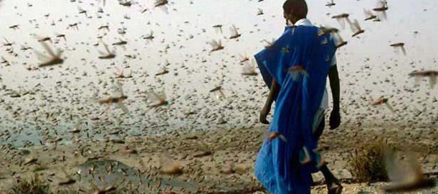 La FAO advierte que plaga de langosta podría afectar África y Oriente Medio