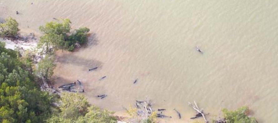 Aparecen 81 orcas negras muertas por causas desconocidas en la costa del sur de Florida