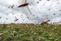 EMERGENCIA EN BRASIL: Declaran emergencia sanitaria ante la posible invasión de plaga de langostas