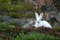 Un mortal virus similar al ébola se propaga entre los conejos en EE.UU. y México
