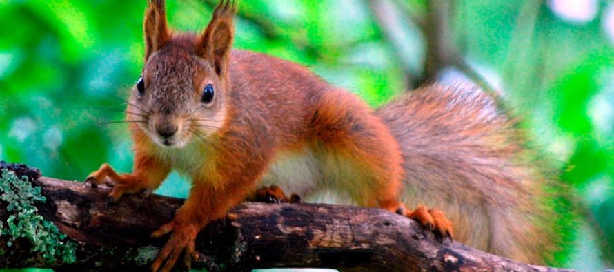 Se registra primer caso de Peste Bubónica en América por ardillas infectadas