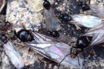 Radares meteorológicos británicos detectan enormes enjambres de hormigas voladoras